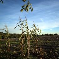 cornfield